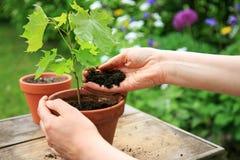 Руки засаживая саженец дерева клена в цветочном горшке Стоковые Фотографии RF