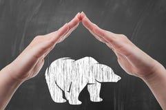 Руки защищая притяжку полярного медведя на классн классном Стоковая Фотография RF