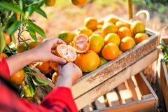 Руки и апельсины оранжевых фермеров жмут Апельсины стоковое фото