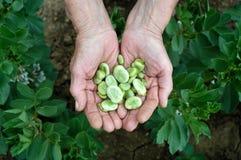 Руки и фасоли, фасоли в поле Стоковое Изображение