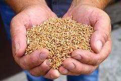 Руки людей держат зерна пшеницы стоковые фотографии rf