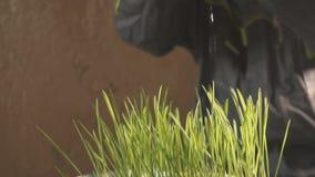 Руки мочат траву внутри помещения видеоматериал