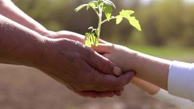 Руки пожилой женщины и младенца держа молодой завод против зеленой естественной предпосылки весной изображения экологичности прин сток-видео