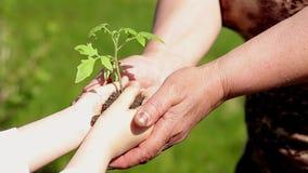 Руки пожилой женщины и младенца держа молодой завод против зеленой естественной предпосылки весной изображения экологичности прин видеоматериал