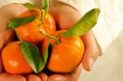 руки приданные форму чашки clementines Стоковые Изображения