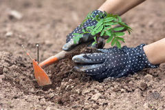 Руки при сапка засаживая ноготки в саде Стоковые Изображения RF