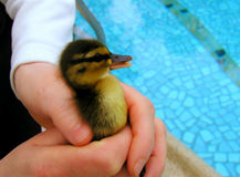 руки птицы младенца, котор держат безопасно Стоковые Изображения RF