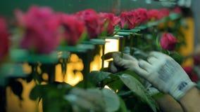 Руки работников устанавливают розовые стержни внутри сортируя машины акции видеоматериалы