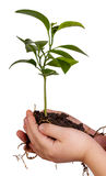 Руки ребенка держа зеленый завод на белизне стоковая фотография