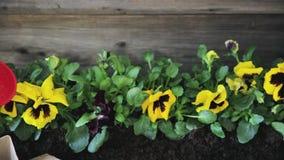 Руки садовников засаживая цветки в баке с грязью или почвой садовничать принципиальной схемы сток-видео