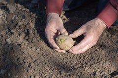 Руки старика засаживая картошки Стоковая Фотография
