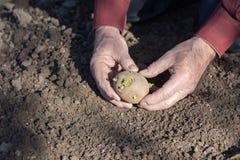 Руки старика засаживая картошки Стоковое Изображение RF