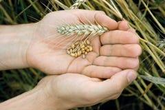 Руки с зернами пшеницы стоковые изображения rf