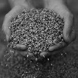 Руки с зерном крупного плана пшеницы Стоковые Фотографии RF