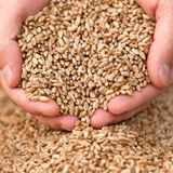 Руки с зерном пшеницы Стоковые Изображения RF