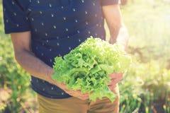 Руки фермера держа свежие листья салата Стоковая Фотография