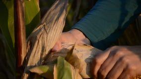Руки фермера держа ухо мозоли на осени Женские удары завода маиса проверки и мозоли корок на времени сбора сток-видео