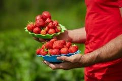 Руки фермера с шарами клубник Стоковое Изображение