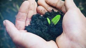 Руки человека держа маленький зеленый росток сток-видео