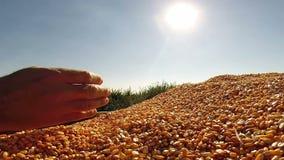Руки человека проверяя свеже сжатые зерна мозоли сток-видео