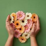 Руки ` s девушки держат цветки gerbera Стоковое Изображение