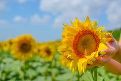 Руки ` s девушки с желтыми ногтями делать держать бутон солнцецвета в поле перед сбором Стоковые Фотографии RF