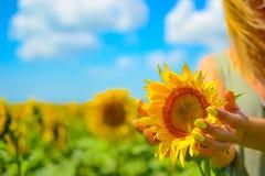 Руки ` s девушки с желтыми ногтями делать держать бутон солнцецвета в поле перед сбором Стоковое Изображение RF