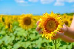 Руки ` s девушки с желтыми ногтями делать держать бутон солнцецвета в поле перед сбором Стоковая Фотография