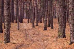 Руководства пути через сосновый лес осени Стоковые Изображения