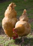 руководство курицы Стоковое Изображение RF