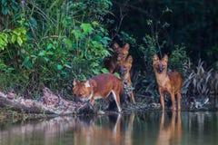 Руководитель азиатской дикой собаки (infuscus alpinus Cuon) Стоковое Фото