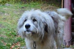 Румынская собака горы на вахте Стоковое Изображение RF