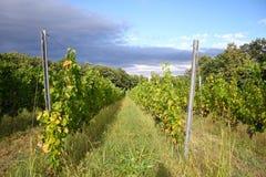 румынский виноградник стоковая фотография