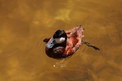 Румяная утка вызвала jamaicensis Oxyura Стоковое Изображение RF
