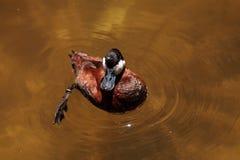 Румяная утка вызвала jamaicensis Oxyura Стоковое фото RF