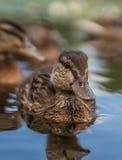 Румяная утка плавая в воду стоковое изображение