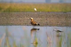Румяная утка Shel также известная как Surkhaab стоковые фотографии rf
