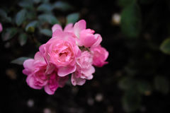 Румяные розы Стоковое фото RF