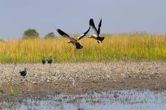 Румяные утки Shel и фиолетовые камышницы стоковая фотография rf