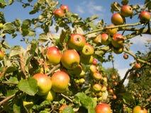 Румяные яблоки стоковое фото rf