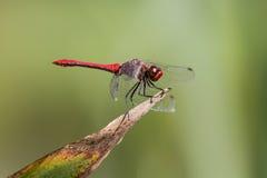 Румяный Dragonfly змеешейки садить на насест на заводе Стоковые Изображения RF