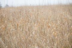Русая трава стоковые фото
