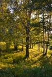 Русская береза на заходе солнца Стоковое фото RF
