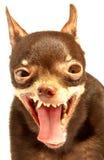русская игрушка terrier стоковые фотографии rf