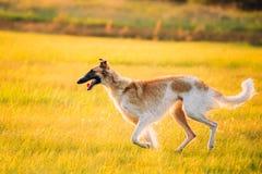 Русская собака, луг или поле восхода солнца захода солнца лета Borzoi идущие Стоковые Фотографии RF