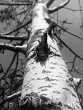 Русские деревья Стоковое Изображение RF