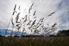 Русские травы поля Стоковые Изображения RF