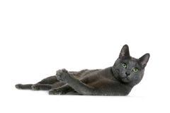русский голубого кота Стоковое фото RF