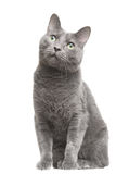 Русский голубой кот при зеленые глаза сидя на изолированной белизне Стоковые Фотографии RF