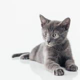 Русский голубой котенок Стоковые Изображения